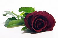 A Rose for Terri Shaivo